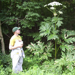 Giant Hogweed Information